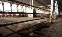 500,000 Pigs to Be Killed in Chilean Farm Dispute