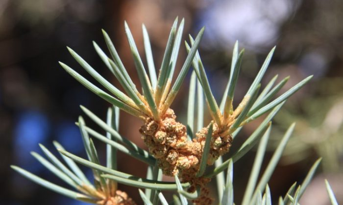 A new study finds that man-made noise has ripple effects on plants such as the pinyon pine, as their natural seed dispersers tend to avoid noisy areas. (Dcrjsr/Wikimedia Commons)
