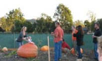 Pumpkinmania Weigh-off This Sunday
