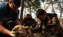 Critically Endangered Amur Leopard Gets Check-up