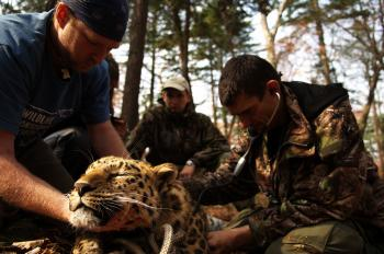 CHECK-UP: Experts perform tests on a sedated Amur leopard, an endangered long-legged leopard from Russia (COURTESY ANDREW HARRINGTON)