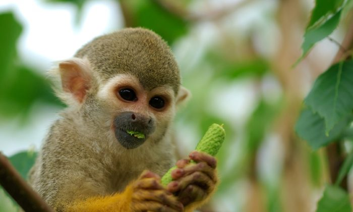 Squirrel Monkeys spend most of their time in the trees. (Luc Viatour/www.Lucnix.be)