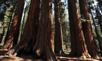 Sequoia National Park Turns 122
