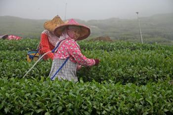 HAPPY TEA LADY: A smiling tea picker from the Sun Moon Lake region picking black tea in the Assam tea region. (Rich Carlson)