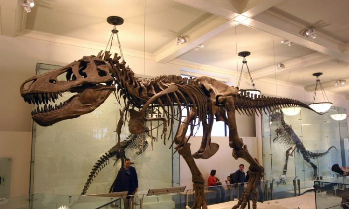 A Tyrannosaurus rex skeleton at the American Museum of Natural History. (J.M. Luijt/Wikimedia Commons)