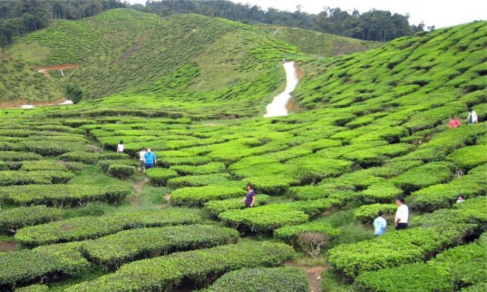 Tea has been picked and processed in China for more than 4,000 years. (Lilly Wang/The Epoch Times)