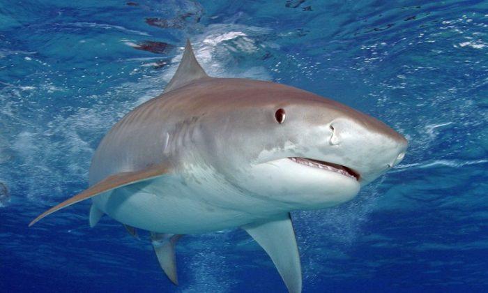 A stock photo of a tiger shark. (Jim Abernathy)