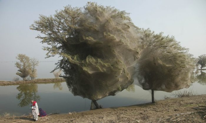 Trees cocooned in spiders webs in Sindh, Pakistan in December 2010. (Russell Watkins/Department for International Development)