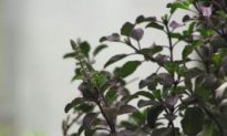Tulsi: Queen of Herbs