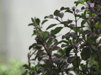 Ocimum tenuiflorum, also known as Tulsi or holy basil.  (Wikipedia.org)