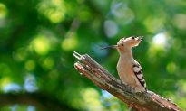 SCIENCE IN PICS: The Hoopoe