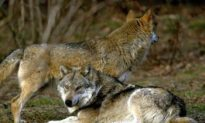 Wolf Hunting Raises Criticism in Sweden