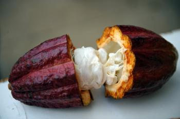 COCOA: Anti-aging antioxidants and flavonoids are naturally occurring pigments in cocoa beans that act to protect the body from oxidizing agents. (Yuri Cortez/AFP/Getty Images)