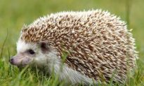 Hazards for Cuddly Hedgehogs