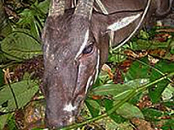Asian Unicorn: Laotian villagers captured a two-horned Saola in August and photographed it. (International Union for Conservation of Nature)