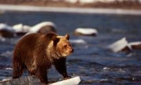 Alberta Needs to Do More to Protect Grizzly Bear Population: Report