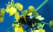 Trial and Error Helps Bumblebees Choose Shortest Routes