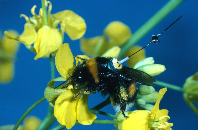 A bumblebee worker with a transponder attached to its back, visiting an oilseed rape flower. Tracking bees with radar shows how they find an optimal route between multiple flowers. (Andrew Martin)