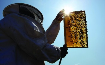 A beekeeper inspects an active beehive. Bee mortality rates in Canada and around the world have been increasing since 2006, and suspected to be caused by a range of physical and environmental factors.  (Dan Kitwood/Getty Images)