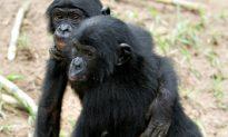 Bonobos Share Food Like Humans