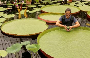 Carlos Magdalena, a Senior Botanical Tropical Horticulturist at the Royal Botanical Gardens at Kew holds a 'Nymphaea Thermarum' waterlily, the smallest waterlily species in the world with pads as small as 1cm in diameter, in amongst Victoria waterlilies,  (Oli Scarff/Getty Images)