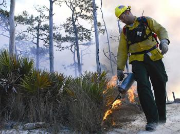 FIRE REQUIRED: The longleaf pine must have fire to complete its life cycle. Seeds only germinate after fire. (Courtesy of National Wildlife Federation)