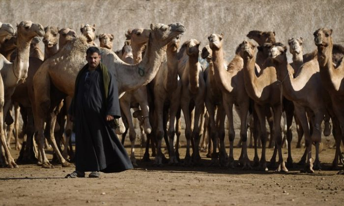 Only a kind women that would give water to the camels was going to become Isaacs wife. Picture taken on January 27, 2012 in Cairo, Egypt.