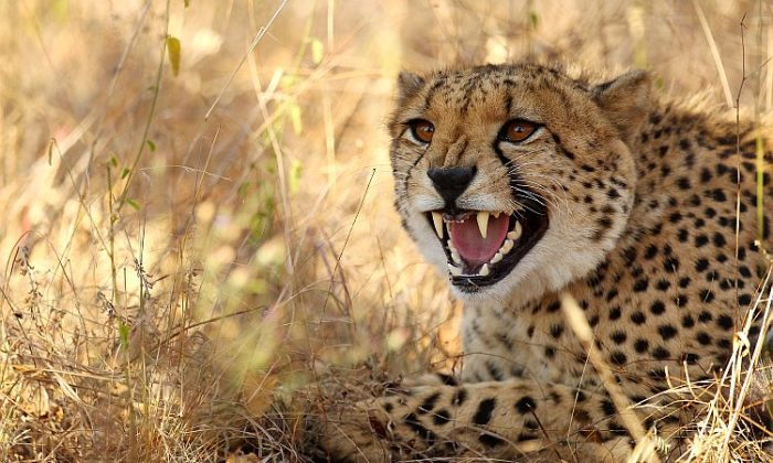 A cheetah hisses on July 20, 2010, in the Edeni Game Reserve, South Africa. (Cameron Spencer/Getty Images)