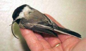 Record Rate of Beak Abnormalities in Alaskan Birds