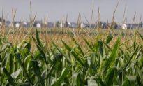 U.S. GE Corn Raises Controversy in Canada