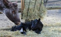 Cow Born in New York Zoo