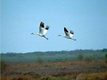 Whooping Cranes at Aransas National Wildlife Refuge. Some of the money donated by Georgia Power will go into caring for whooping cranes. (U.S. Fish and Wildlife Service)