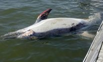 In the Hudson River, a Dead Dolphin Surfaces