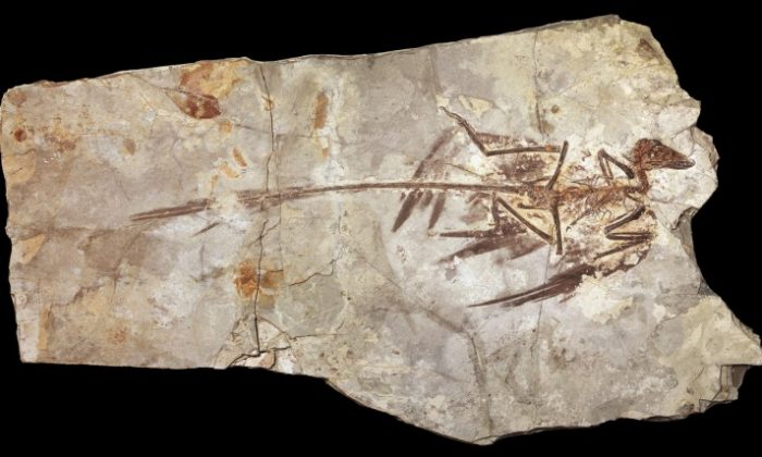 A fossilized Microraptor specimen from the Beijing Museum of Natural History. Microraptor was a pigeon-sized, four-winged dinosaur that lived about 130 million years ago. (AMNH/M. Ellison)