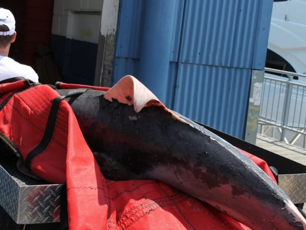 Foundation dead dolphin  Long Island