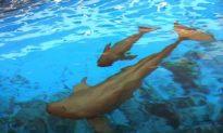 The Extinction of Baiji: China's White Dolphin