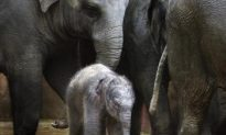 First for Belgium—A New Baby Elephant