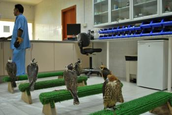 A falcon waits in the examination room at the Abu Dhabi Falcon Hospital in the United Arab Emirates. The hospital opened in 1999 and treated more than 35,000 patients in its first 10 years of service. (Stephen Jones/The Epoch Times)