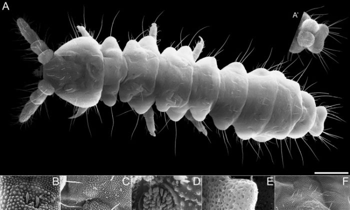 Micrographs of one of the springtails found. (Courtesy of Enrique Baquero)