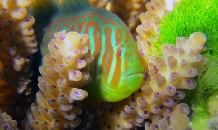 The mutualistic fish Gobidon histrio is shown on the coral Acropora nausuta. The coral is in contact with the allelopathic green alga Chlorodesmis fastigiata. (Georgia Tech Photo: Danielle Dixson)