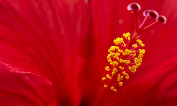 Flowers make certain that gamete fusion has successfully occurred before other pollen are repelled. That allows the process of fertilization to continue if the first pollen grain turns out to have been a dud. (Mike Cohea/Brown University)