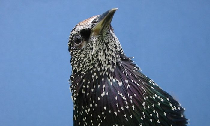 The starling is an ecologically rational decision-maker—its response to context improves decisions when it matters most. (Courtesy of Alejandro Kacelnik)