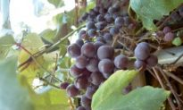 Study Says Antioxidants in Grape Residue Preserves Chicken Meat