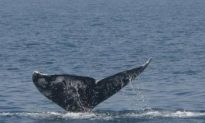 Gray Whale Returns to Mediterranean After 200 Years
