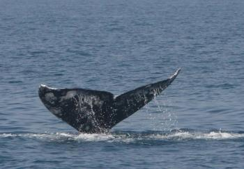 The first sighting of a gray whale in the Mediterranean in 200 years, spotted on May 8 in Herziliya, off the coast of Tel Aviv, Israel. (Courtesy of the Israel Marine Mammal Research & Assistance Center)