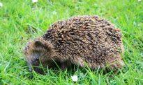 Hedgehogs in Distress