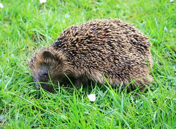 Hedgehogs that meander about in daylight or lie in the sun need immediate care from a veterinarian or the closest hedgehog care station. (Heike Soleinsky/The Epoch Times)