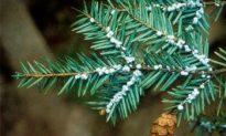 Invasive Insects Threaten Northeast Hemlocks