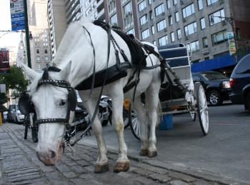 NY Horse and Carriage Bill Ignored