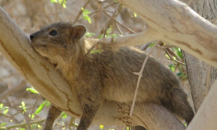 Hyraxes produce songs that reveal their traits. (American Friends of Tel Aviv University)